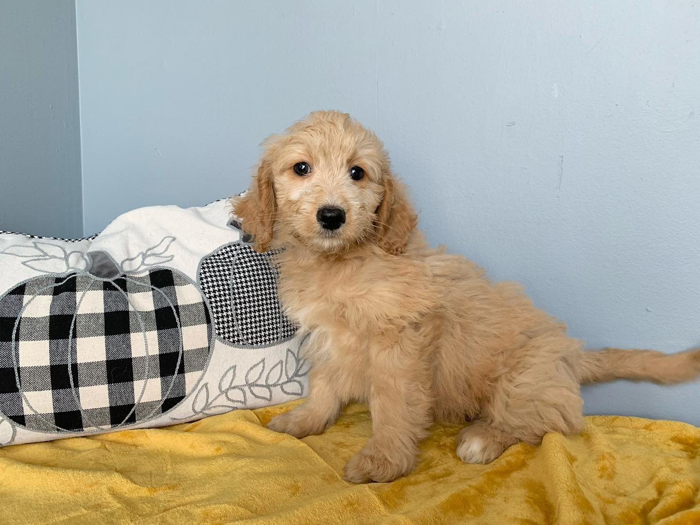Female 2nd Generation Goldendoodle Puppy